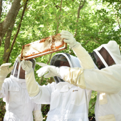 Beehive workers with protective clothing gathered around tree